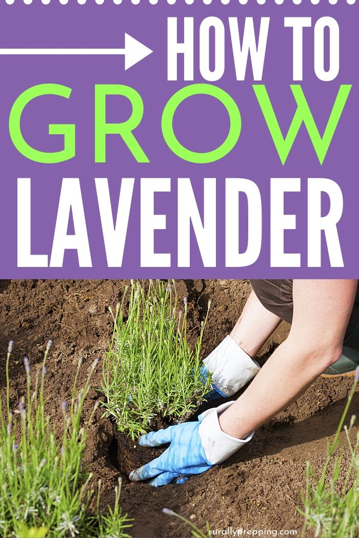 someone planting lavender with the words how to grow lavender above it