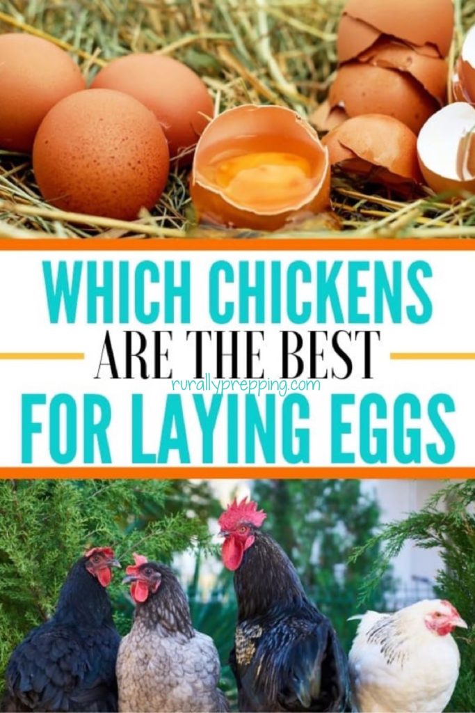 eggs and eggshells is in the top image, text of which chickens are the best for laying eggs, the an image of chickens